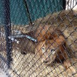 Kivú the lion recovers at his new home