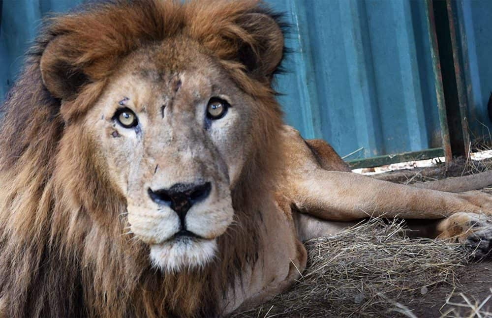 Kivú the lion. Jan, 2017.