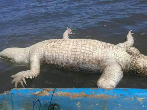 Crocodile found dead in gulf of nicoya following thousands of washed a deceased crocodile turned up near the same section of puntarenas coast where many thousands of dead sardines washed up earlier this week publicscrutiny Images