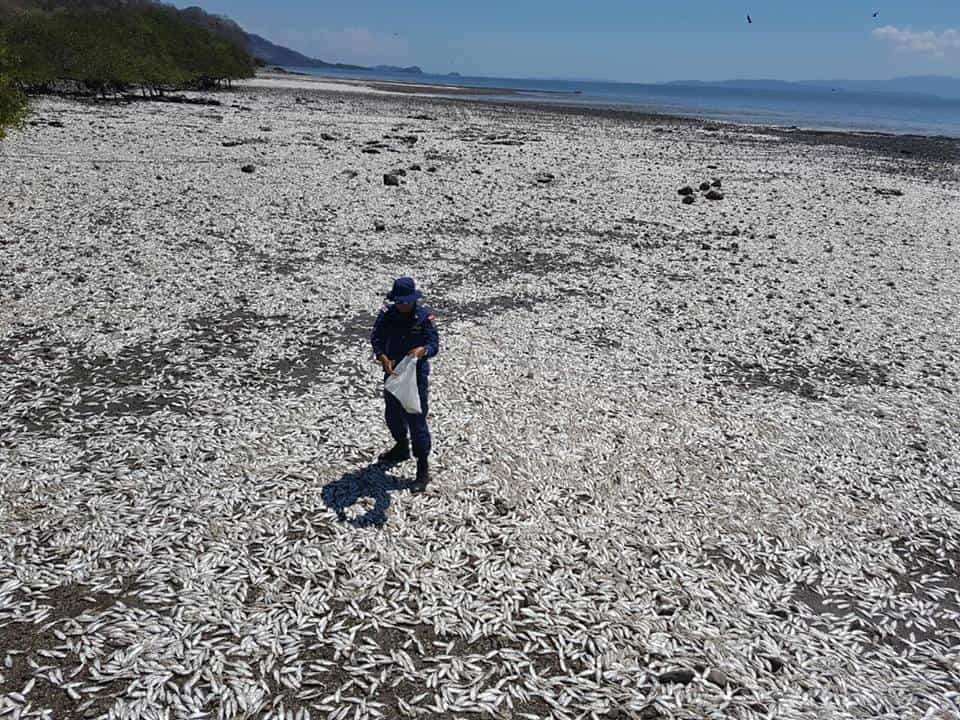 Thousands of dead fish wash up from gulf of nicoya the tico times dead fish nicoya publicscrutiny Images
