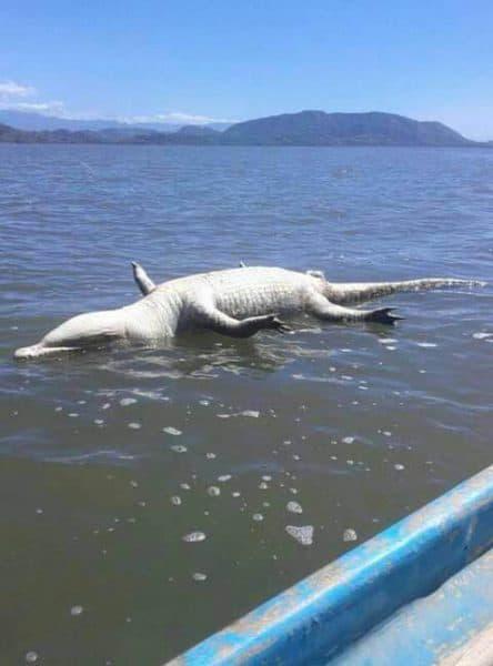 Dead crocodile nicoya