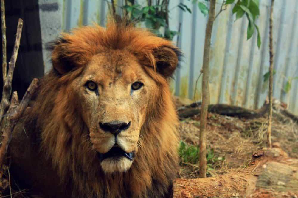 Kivú the lion. Feb 19, 2017