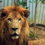 Kivú, Costa Rica's beloved lion, dies at 18