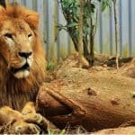 Death of Kivú the lion unleashes blame game