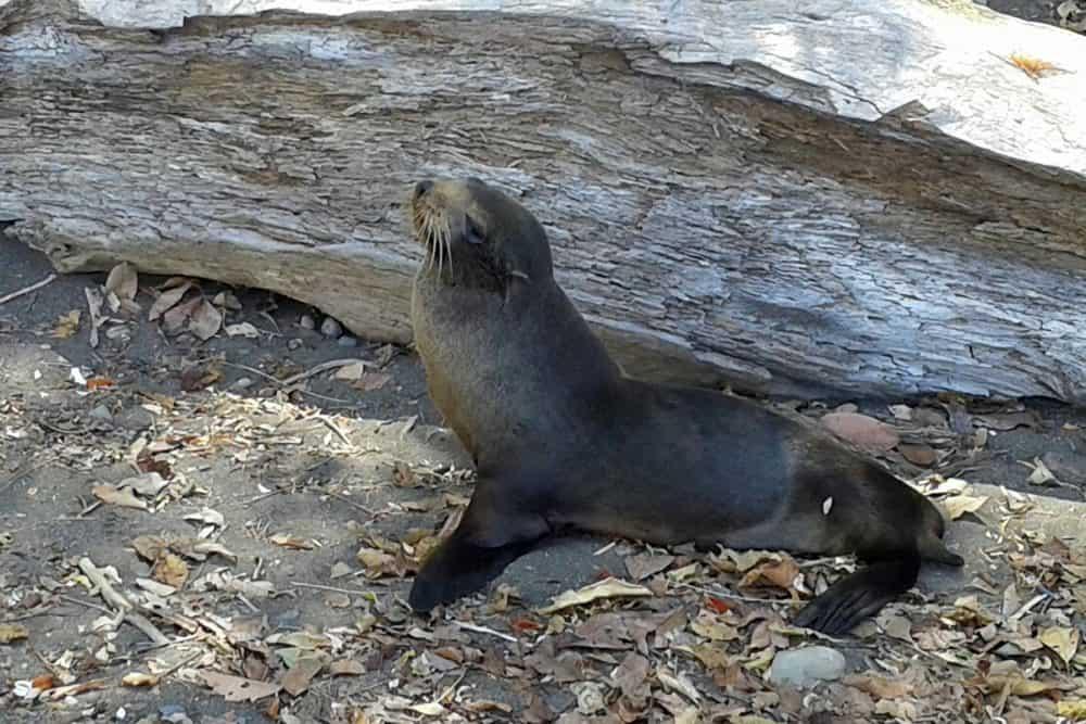 Sea lion at Agujas beach.