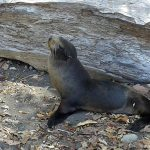 Sea lions found at Costa Rica's central Pacific beaches