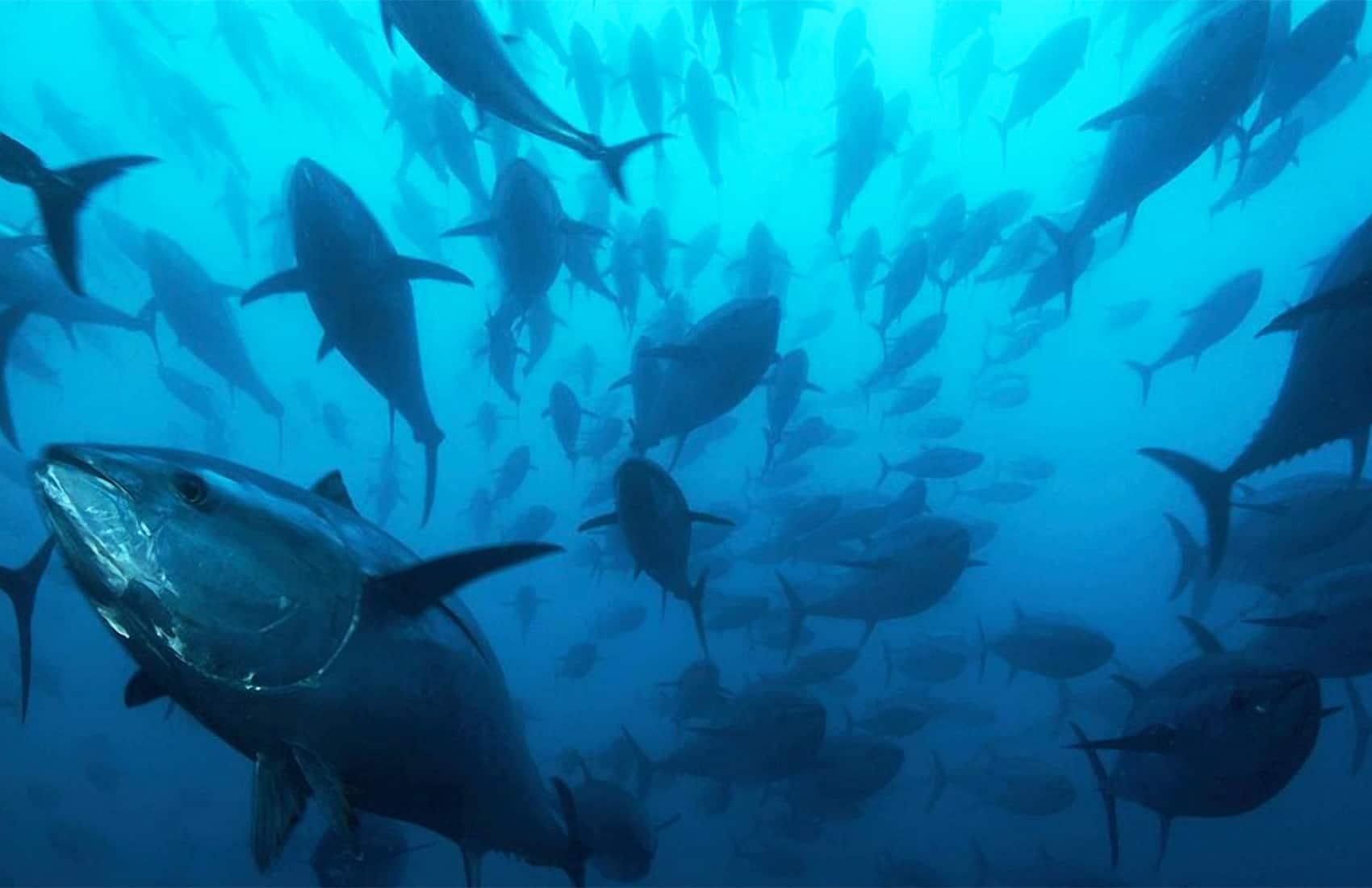 Tuna school in Costa Rica