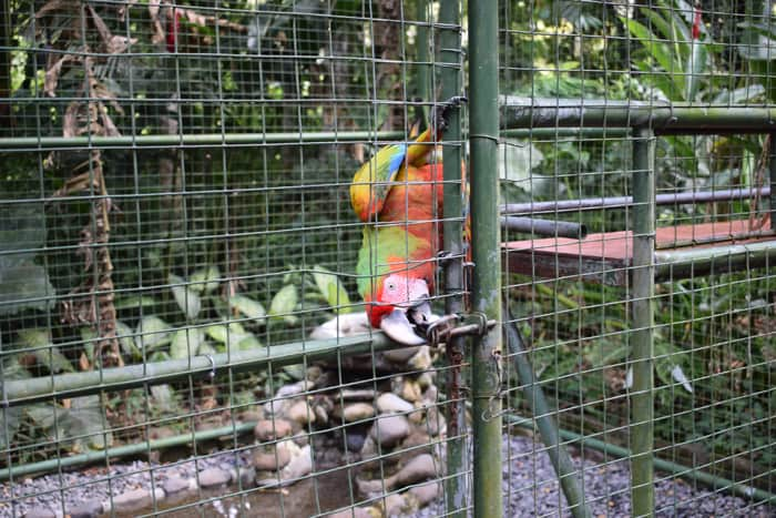 A hybrid macaw, bred from a scarlet and a green macaw, has learned to open a complicated latch on its cage.