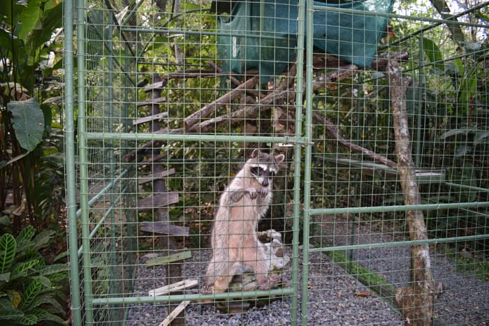 A brain-damaged raccoon at Proyecto Isis climbs the walls of its cage.