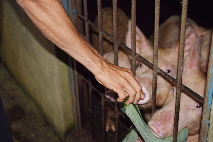 Feeding pigs at Rancho Margot.