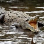 Death of crocodile in traditional Costa Rican activity stirs controversy