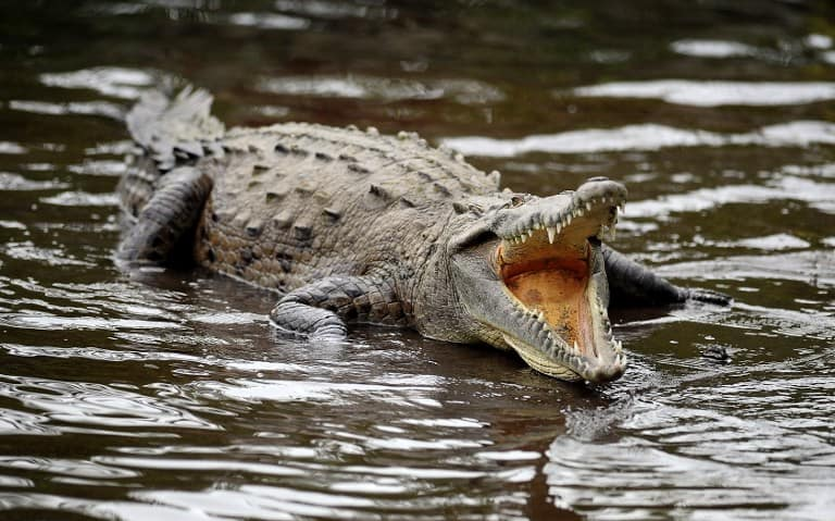 Lagarteada Crocodile death costa rica