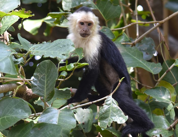 White-faced monkey.