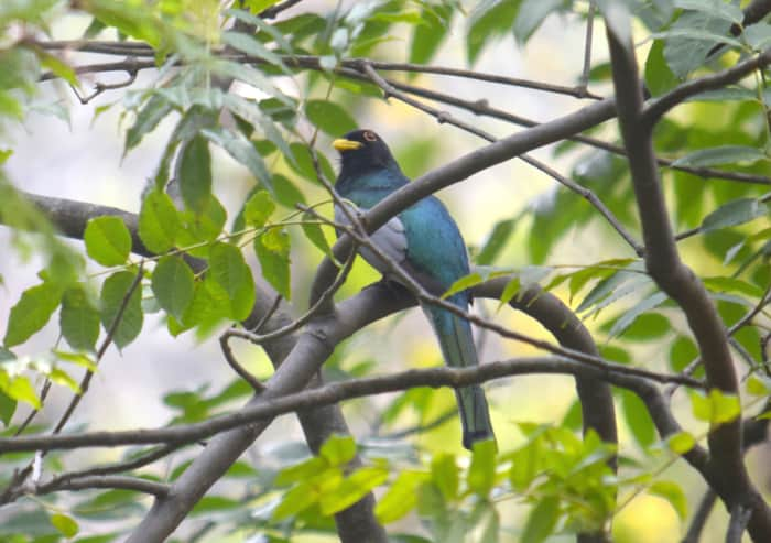 The elegant trogon.