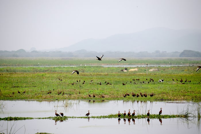 Cows and birds share the wetlands at Palo Verde National Park.