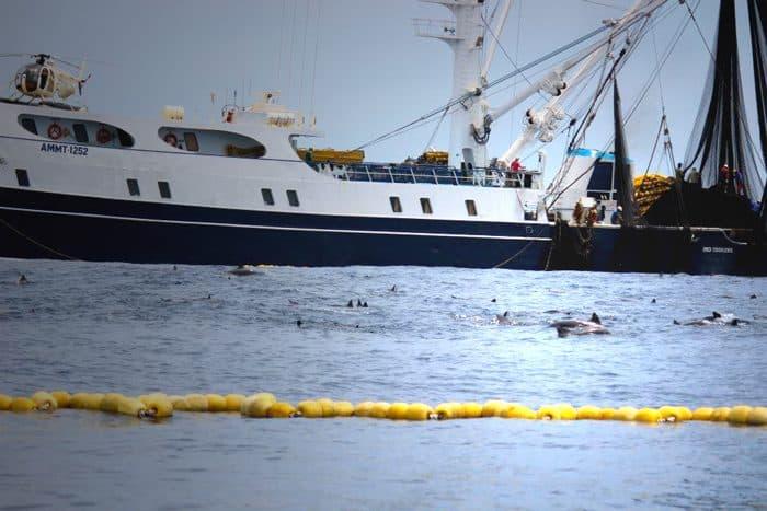 Dolphins in tuna net.