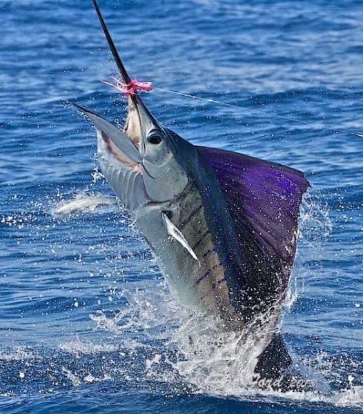 Sailfish in the air.