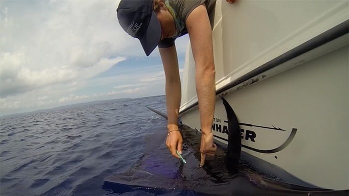 Beatriz Naranjo takes a tissue sample from a sailfish.