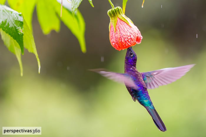 Violet sabrewing, male.