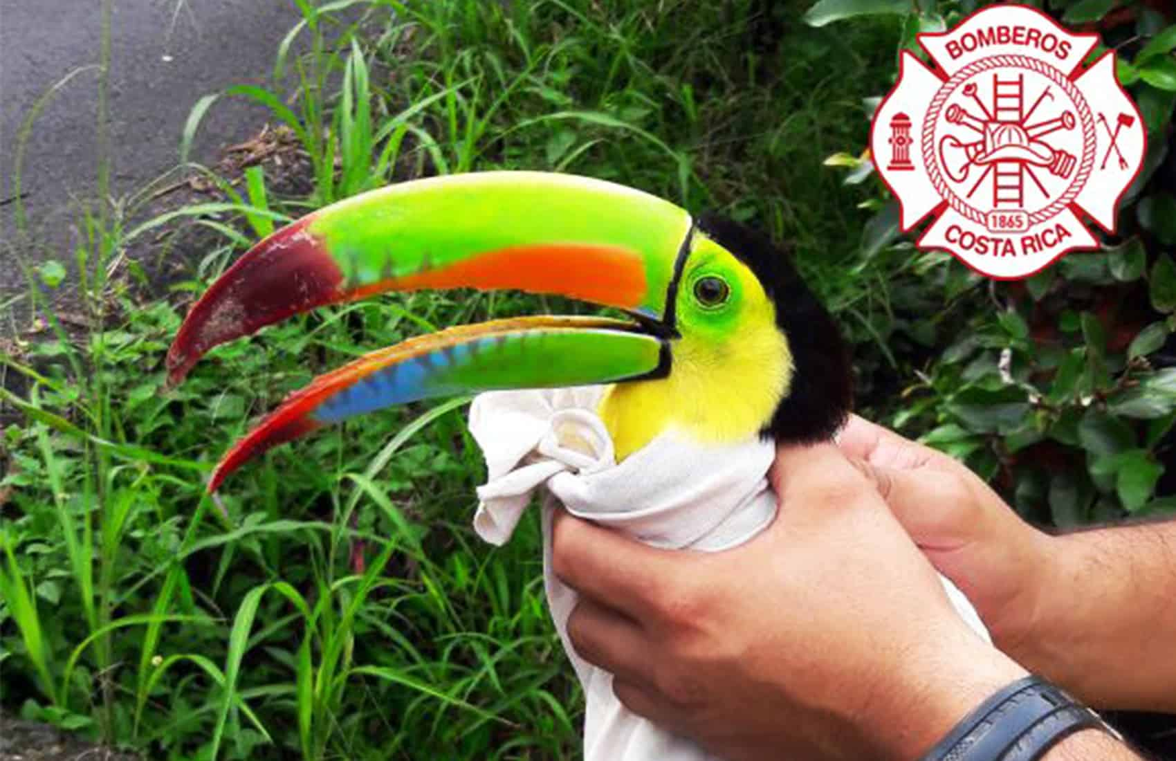 Shot toucan in Atenas. June 12, 2017