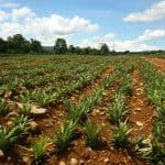 Environment Ministry restricts operations at three pineapple farms