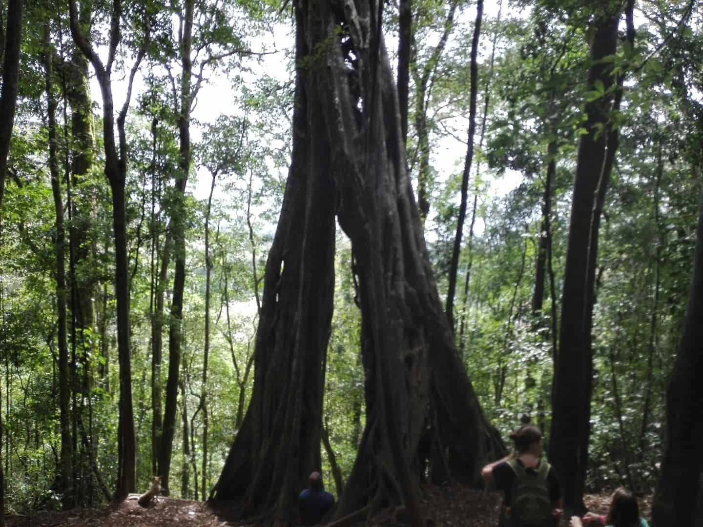 Strangler fig in Monteverde, Costa Rica