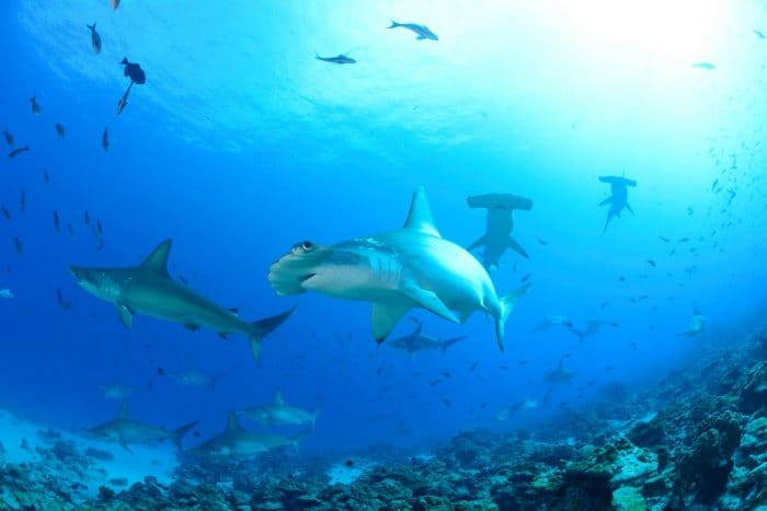 Image Of Hammerhead Shark Food Web Are Sharks At The Top Of The Food