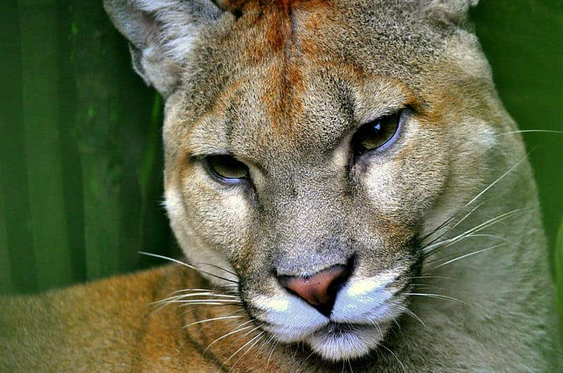 A puma that was captured Sunday in a Tibás neighborhood by the Firefighters  Corps and the Environment and Energy Ministry (MINAE) has been safely  released ... 60032b894444